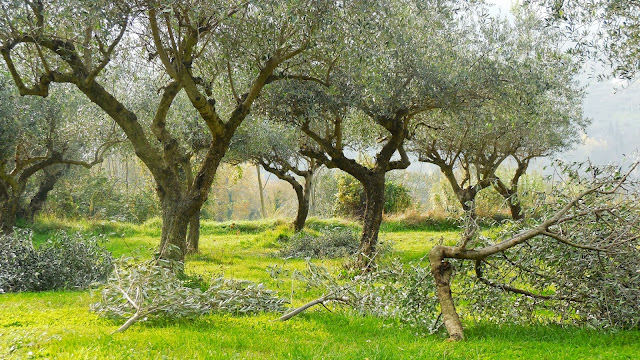 Kokopelli Olive Trees