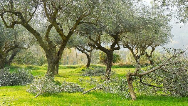 Kokopelli Olive Trees