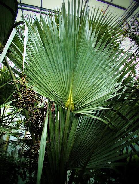 frunza gigant palmier gradina botanica iasi