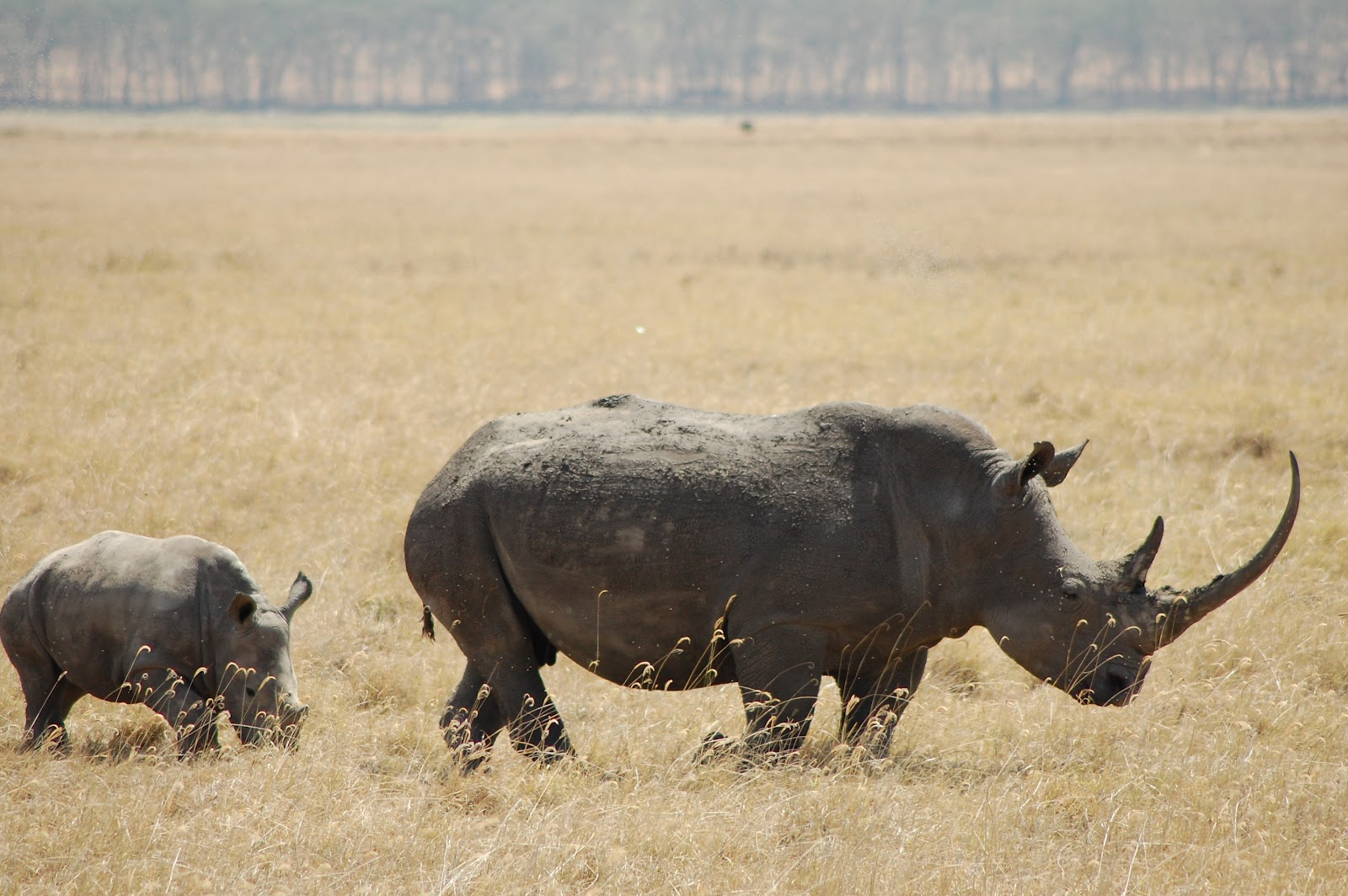 rhino horn lecture 1 1:3 a rhinoceros the refrain in this sutta is a subject of controversy the text literally says, wander alone like a 'sword-horn,' which is the pali term for rhinoceros.