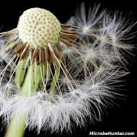 Dandelion Photos and Pictures 17