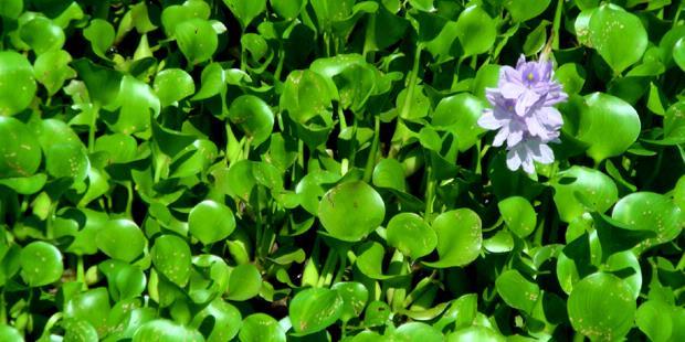 Tumbuhan air atau disebut juga hidrofit, yaitu tumbuhan ...