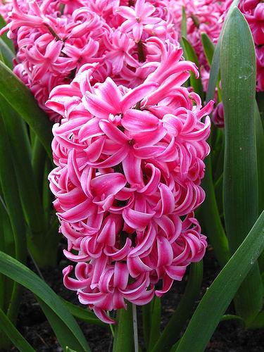 Flores y rboles hyacinthus orientalis jacinto - Jacinto planta interior ...
