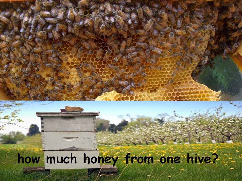 how much honey from one hive?