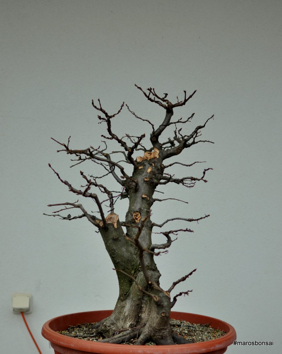 Maros Bonsai Blog March 2015