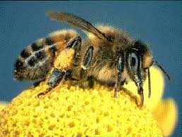 back to the basics easy ways to help honeybees you can