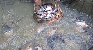 cara budidaya ikan, budidaya ikan nila di kolam terpal,belut,bawal air tawar,artikel tentang budidaya ikan bawal,