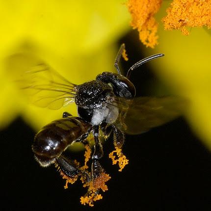 Abelha sem ferrão coletando polen