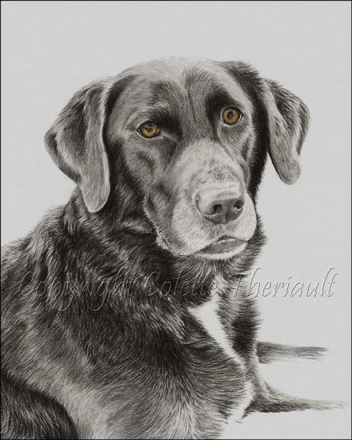 dog drawing in progress by animal portraitist Colette Theriault