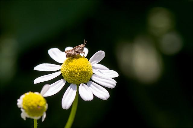 Acridoidea kratkotipalčna kobilica na rožici