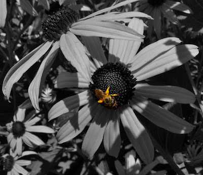 Bee on a Black eyed Susan