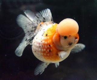 Tehnik Cara Budidaya Ikan Hias Mas Koki Mutiara