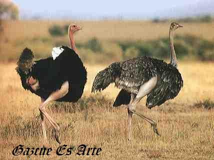 pene de avestruz