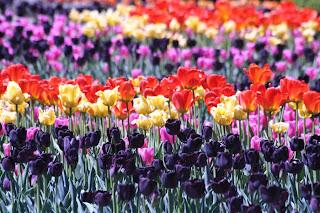 Tulip Festival :: All Pretty Things