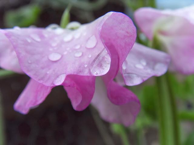 Sweet pea rain