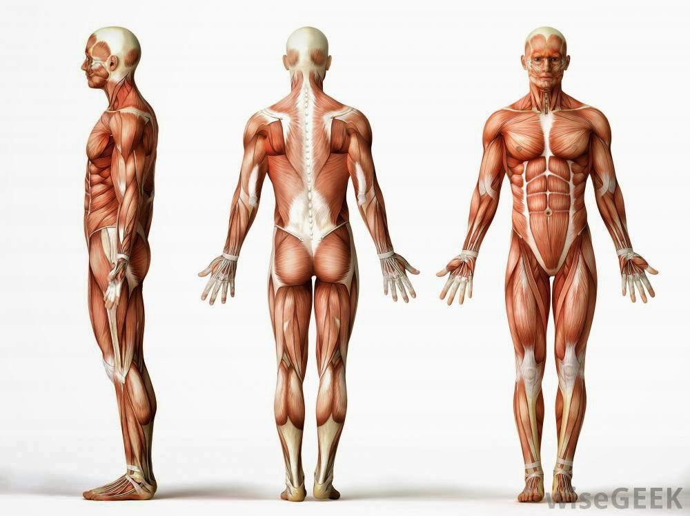 Moderno Músculos Anatomía Corporal Foto - Anatomía de Las ...