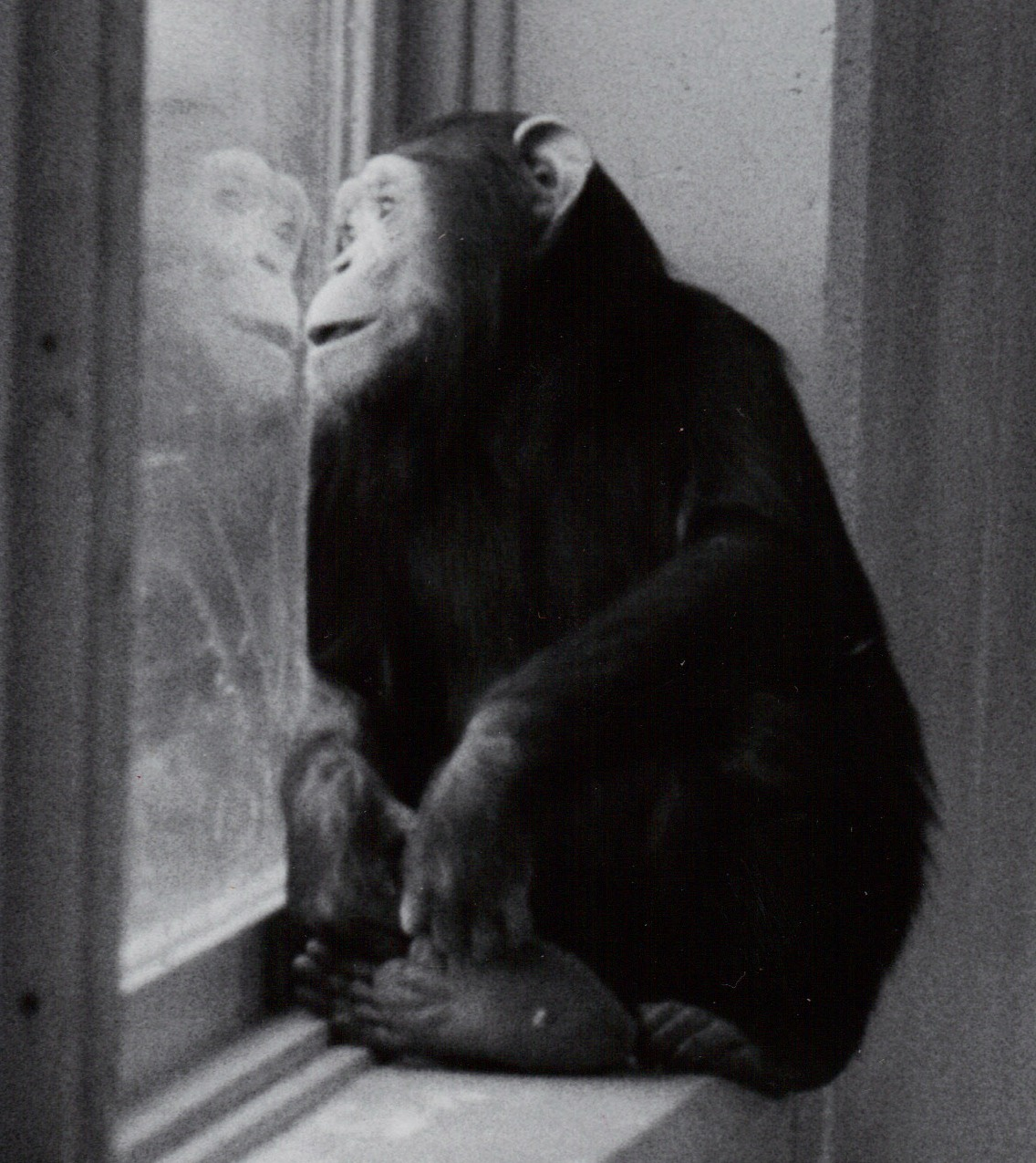 Chimpanzee pictures chimpanzees are all black but - Saving U S Chimps From Society S Scrap Heap