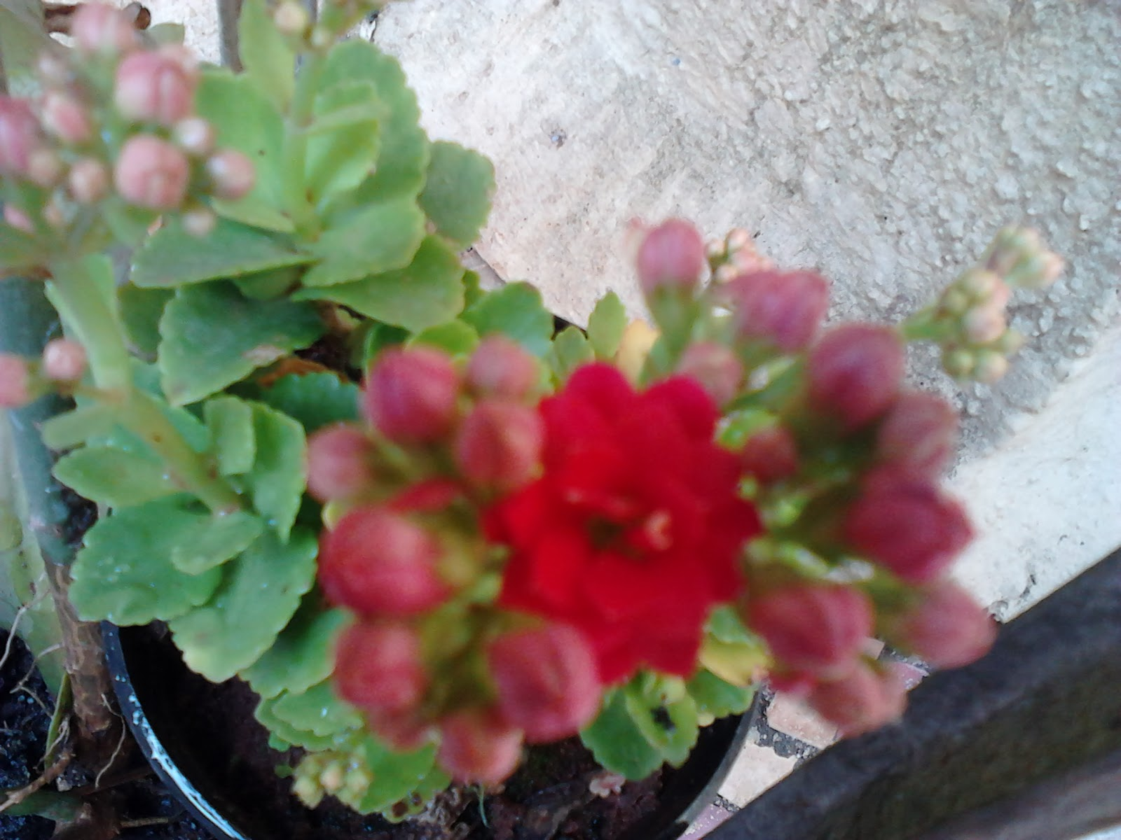 Close Up Of Red Flowers On Succulent Plants