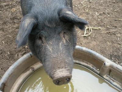 Black Hog Drinking Water