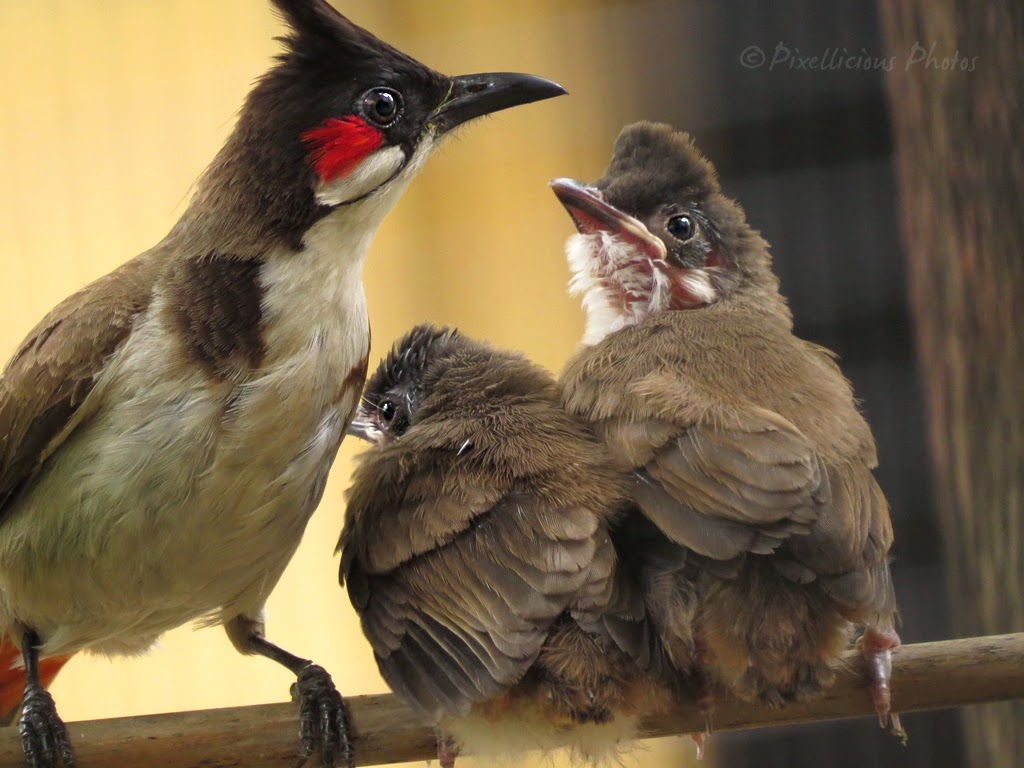 Adult Bulbul and Baby Bulbuls out of the Nest