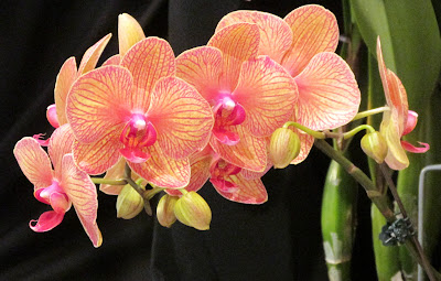 Orange-yellow orchid