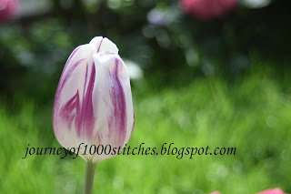 Tulip picture taken by me