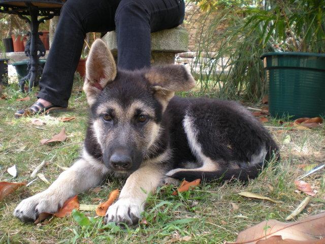 Animales en adopcion en galicia coru a cachorrita pastor for Pastores alemanes en coruna
