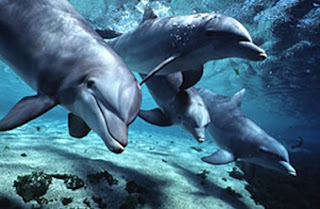 dolphin wallpaper animal sea dolphins lumba-lumba