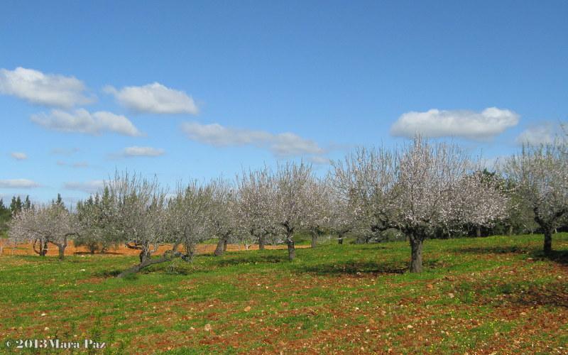 Amendoeiras algarvias em flor