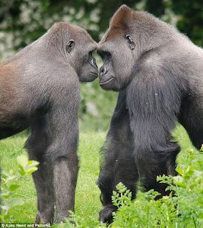Alpha males posturing