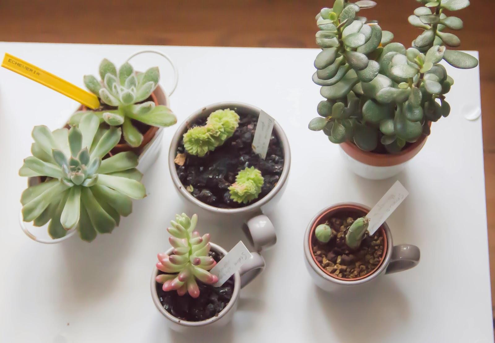 La passion des succulentes captain 39 clem for Petite plante exterieur