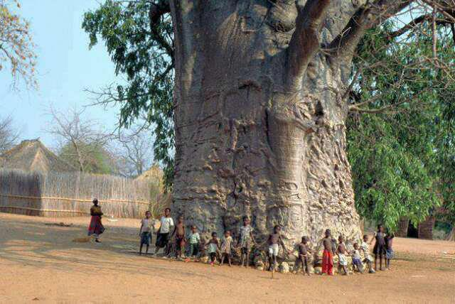 Oldest and biggest tree of the world