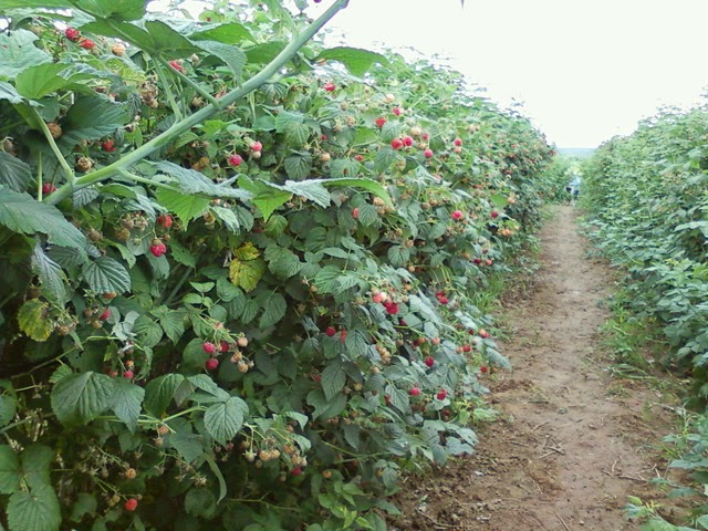Piante Di Frutti Di Bosco : Lamponi cayuga piante di frutti bosco a radice nuda