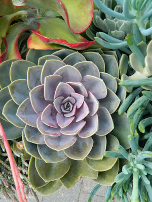 Echeveria Perle von Nurnberg at Toronto Botanical Garden by garden muses-not another Toronto gardening blog