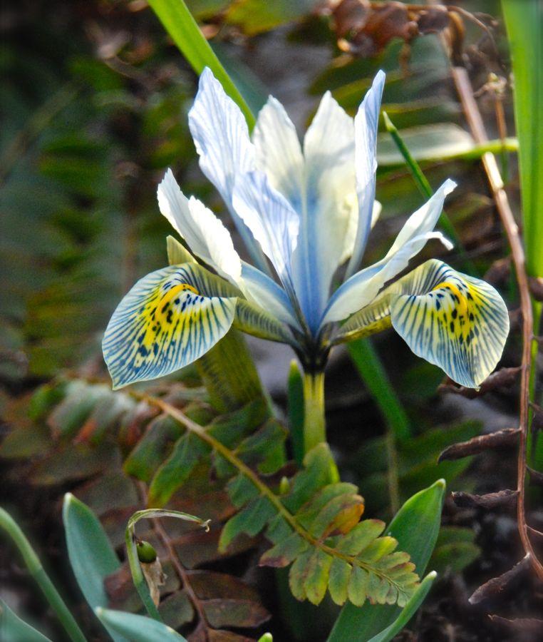 Iris reticulata 'Katherine Hodgkin' in our Shade Path garden this weekend.