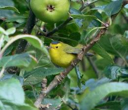 Wilson`s Warbler-Port Nis-Lewis-Outer Hebrides-14th October 2015