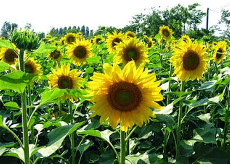 Manfaat Bunga Matahari untuk Kesehatan
