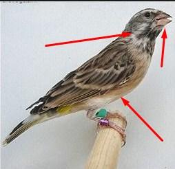 Trik Ampuh Untuk Membedakan Jantan Betina Burung Blackthroat