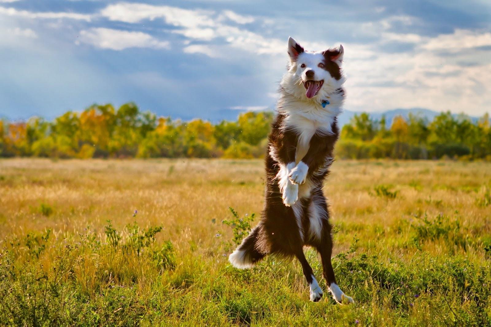 Cómo saber si mi perro me quiere: cuidados y nombres para tu mascota. Perro saltando
