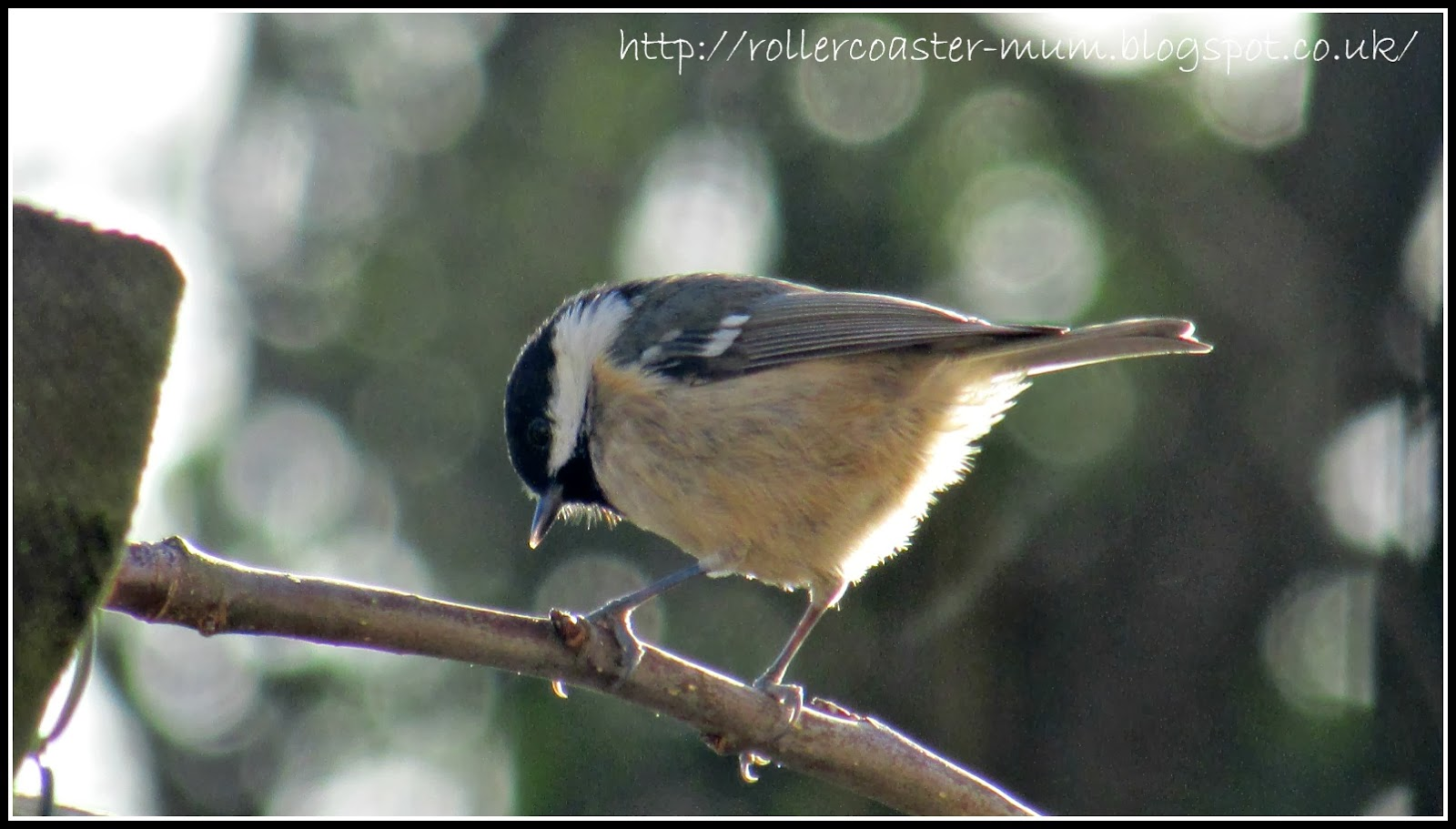 Coal tit looking for food