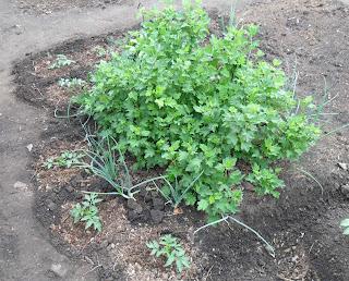 Помидоры высажены вокруг куста молодой смородины