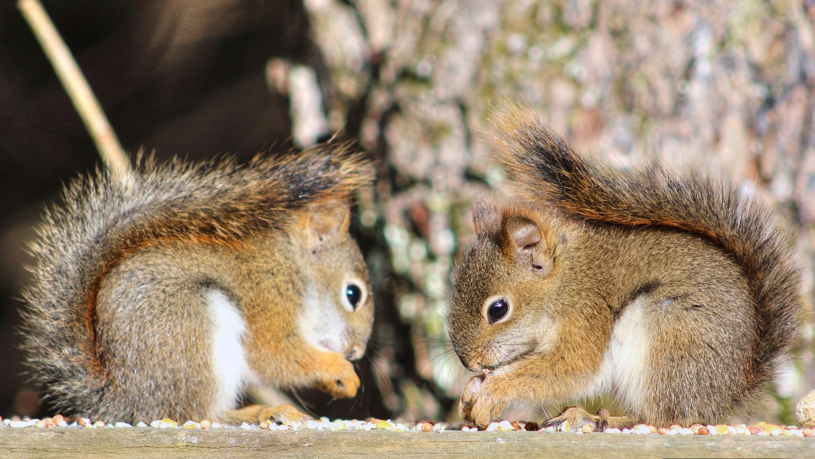 Cute Baby Red Squirrels (Kittens)