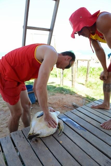Guarda-vidas faz massagem pulmonar e tenta salvar tartaruga engasgada com plástico na Praia Brava, em Itajaí. Foto: Rafaela Martins