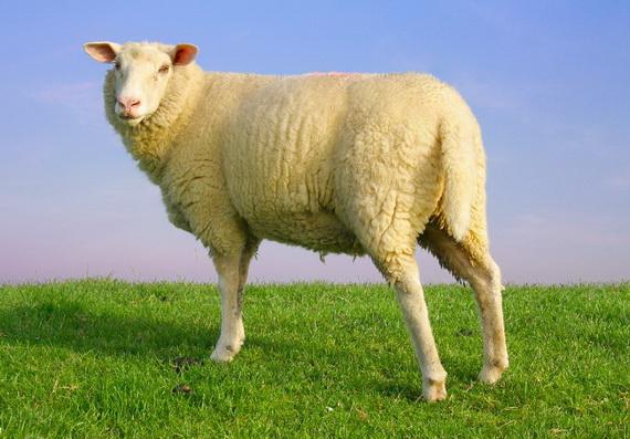 Sản phẩm nhau thai cừu dùng trong làm đẹp và bảo vệ sức khỏe phải đảm bảo về nguồn gốc, an toàn vệ sinh