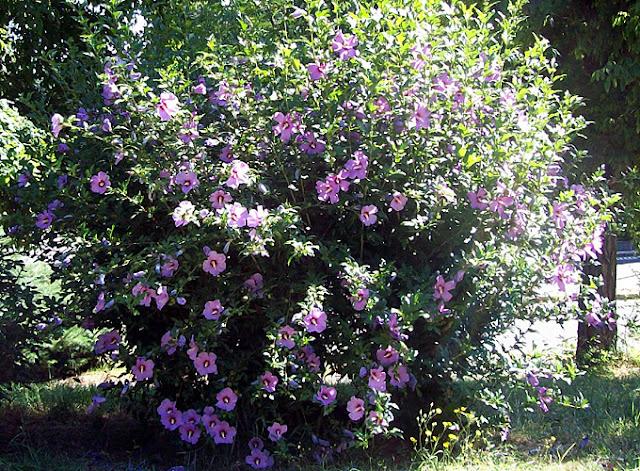 Nuevo jard n pido consejos for Hibiscus arbol