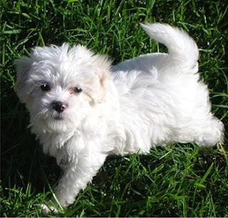 Cute Maltipoo Pictures