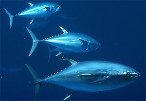http://1.bp.blogspot.com/-TRkINO59CFw/TZ5soHOETXI/AAAAAAAAAOU/SnnIcYbSfDw/s1600/Manfaat+kesehatan+ikan+Tuna+jepang.jpg