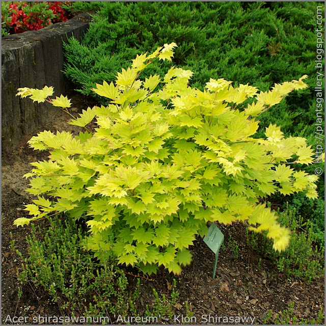 Acer shirasawanum 'Aureum' - Klon Shirasawy pokrój jesienią