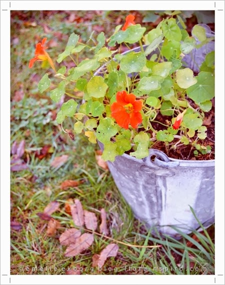 autumn, old bucket as flower pot, nasturtiums, autumn snapshot