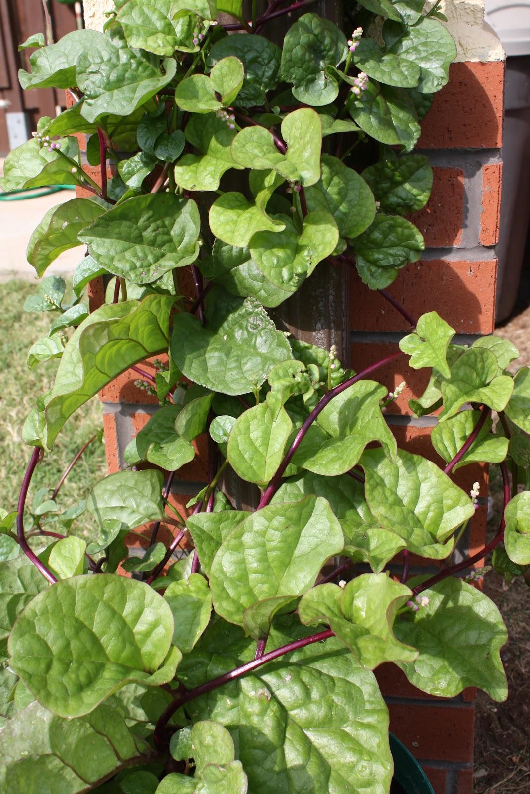 Malabar spinach agrihunt for Indoor gardening market size